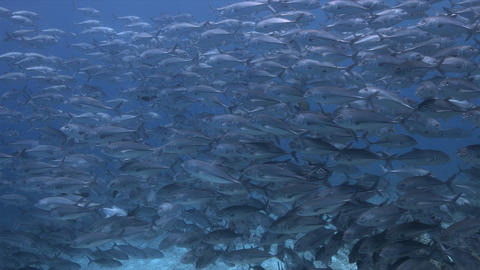 School of Bigeye Trevallies and Reef Sharks 4k Live Action