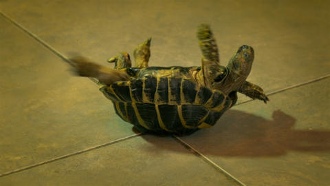 4K Helpless Russian Tortoise Turned Upside Down, Shakes Its Legs in Attempt Footage