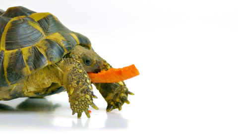4K Russian Tortoise Eating Carrot Footage