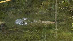 Frog floats in the water and swim away Footage