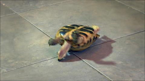 4K Helpless Russian Tortoise Turned Upside Down, Shakes Its Legs in Attempt Footage