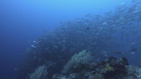 School of Bigeye Trevallies and Reef Sharks 4k Stock Video Footage