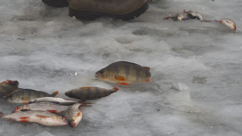 Fisherman collects caught fish that lies on ice Live Action
