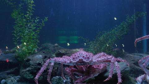 King crab in seafood tank and traffic reflected on window display Live Action