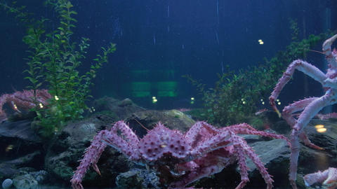 King crab moving in seafood tank and traffic reflected on window display Live Action