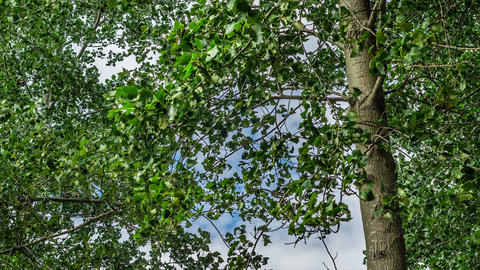 4K UHD Time Lapse of Poplar tree leaves shaking in a windy day Footage