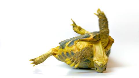 4K Kleinmann's Tortoise / Egyptian Tortoise Footage