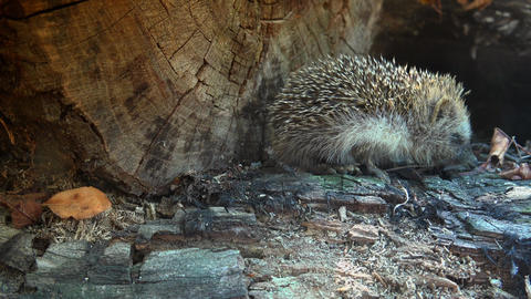 Sweet hedgehog in nature.Ultra hd 4k, real time Live Action