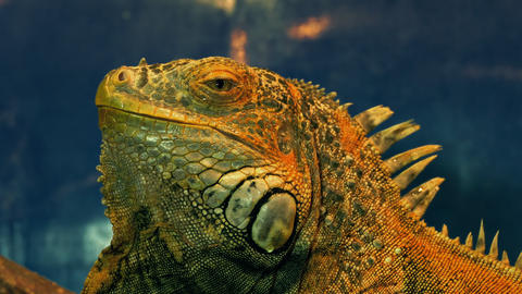 4K Green Iguana Close-Up Footage
