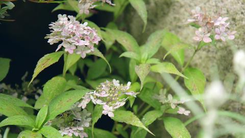 Flower ajisai besshi temari V1-0003 Footage
