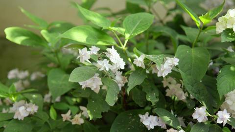 Flower ajisai kochounomai V1-0002 Footage