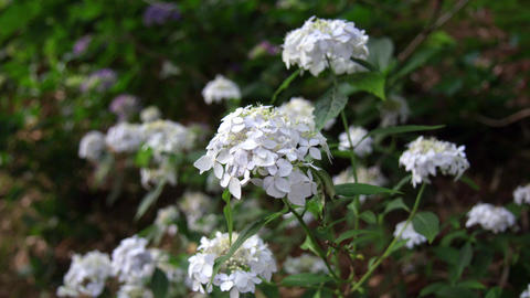 Flower ajisai sasanomai V1-0003 Footage