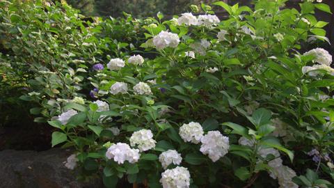 Flower ajisai shirohanahime ajisai V1-0005 Footage
