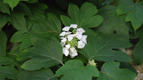 Flower ajisai sikes dwarf V1-0002 Footage