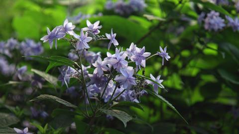 Flower ajisai turugigamai V1-0002 Footage