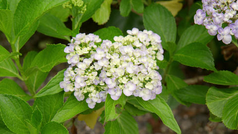 Flower ajisai uzu ajisai V1-0005 Footage