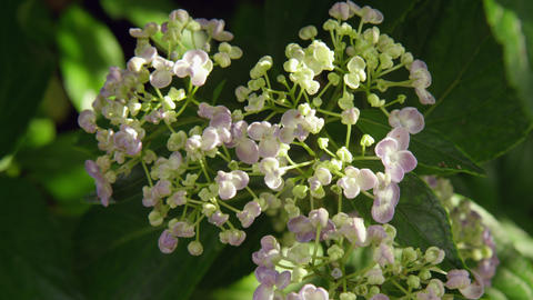 Flower ajisai uzu ajisai V1-0003 Footage