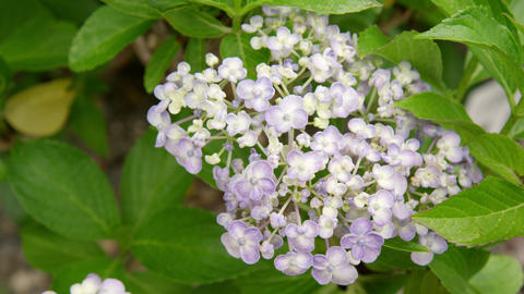 Flower ajisai uzu ajisai V1-0006 Footage