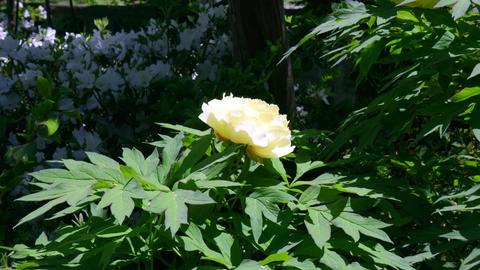 Flower botan V1-0007 Footage