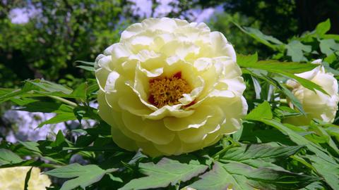 Flower botan V1-0011 Footage