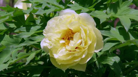 Flower botan V1-0016 Footage