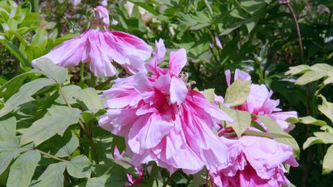 Flower botan V1-0019 Footage