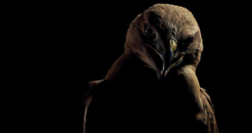 Close up of a big scary hawk, wild predator bird with open beak, 4k Live Action