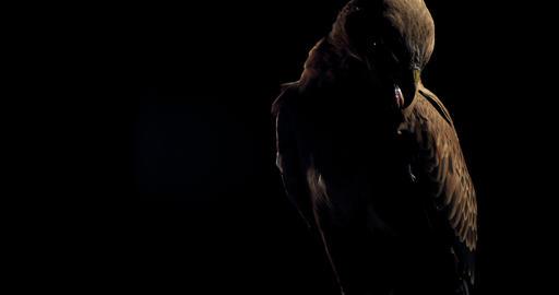 Wild predator bird is sitting on a branch at night, hawk is looking around, 4k Live Action