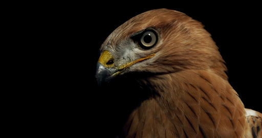 Close up of a scary hawk with big eyes and open beak, wildlife, 4k Live Action
