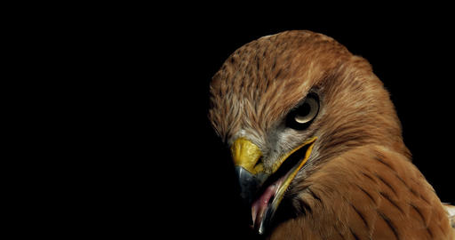 Hawk with open beak and its tongue out is sitting and looking around, 4k Live Action