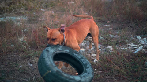 Young dog American Staffordshire Terrier plays with an... Stock Video Footage