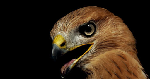 Creepy hawk is turning and looking with its beak open and tongue out, 4k Live Action