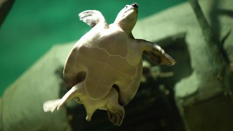 swimming turtle in big aquarium Live Action
