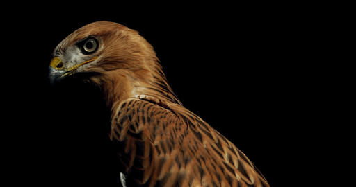 Wildlife, young hawk with brown feathers is turning its head and looking, 4k Live Action