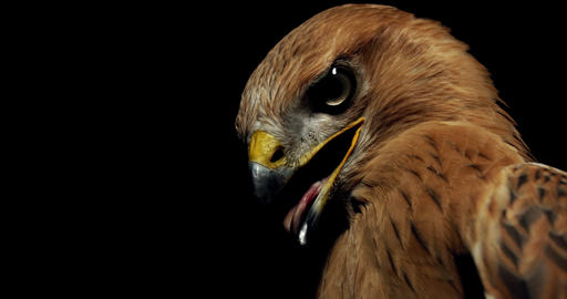 Close up of a hawk with big eyes and open beak with tongue out, 4k Live Action