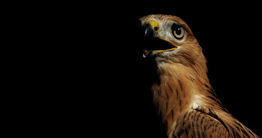 Close up of a creepy hawk with big eyes and open yellow beak looking around, 4k Live Action