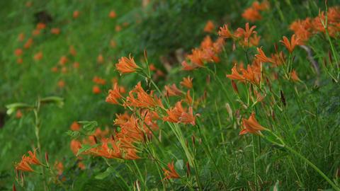Flowers kitsunenokamisori V1-0007 Footage