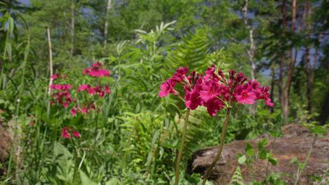 Flowers kurinsou V1-0003 Footage