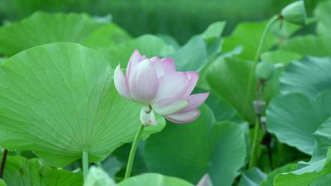 Flowers lotus V1-0025 Footage
