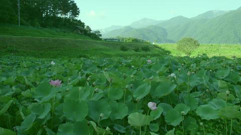 Flowers lotus V1-0029 Footage