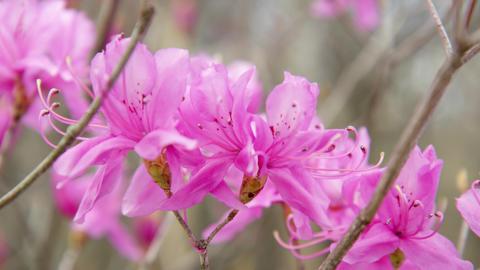 Flowers mistubatsutsuji V1-0003 Footage