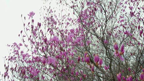 Flowers mistubatsutsuji V1-0005 Footage