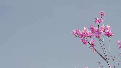 Flowers mistubatsutsuji V1-0026 Footage