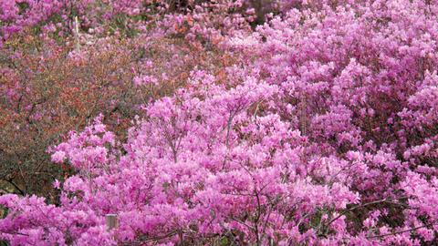 Flowers mistubatsutsuji V1-0044 Footage