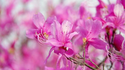 Flowers mistubatsutsuji V1-0053 Footage