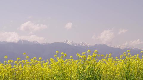 Flowers nanohana V1-0050 Footage