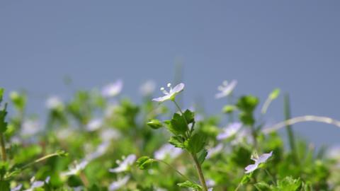 Flowers ooinunofuguri V1-0006 Footage