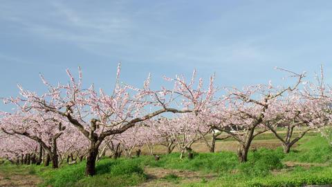 Flowers peach V1-0029 Footage