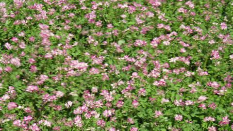 Flowers renge V1-0003 Footage