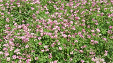Flowers renge V1-0004 Footage